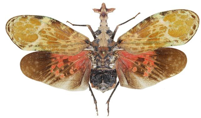 Phrictus buchei Taxidermy REAL Insect