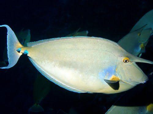 Bluespine Unicorn Fish Bluespine Unicornfish sea