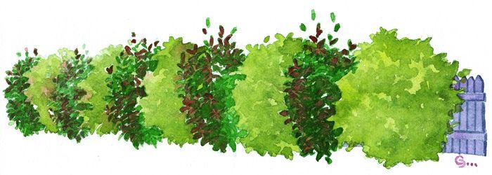 la haie persistante rouge et verte un p 39 tit tour au jardin pinterest haie persistant les. Black Bedroom Furniture Sets. Home Design Ideas