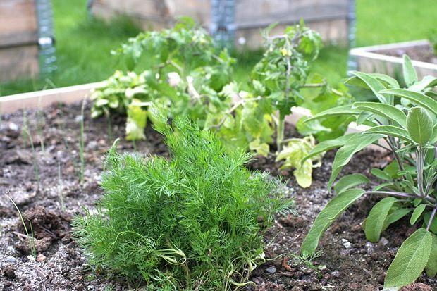 Den ene kassen er plantet med dill, salvie og tomater. Også det er en passende smakskombinasjon  - Om sommeren spiser jeg knekkebrød med tomater og strimlet salvie. Det er også herlig å ha salviesmør over fylte pastaputer, eller strimle litt til svineindrefilet, pakket inn i parmaskinke. Men man skal ikke spise for mye salvie, det er en medisinsk plante