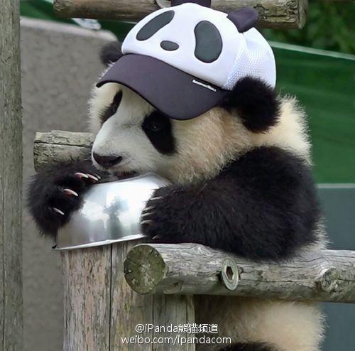 Pin By Brittney On Bears Panda Bear Baby Panda Bears Cute Panda