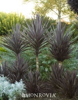 Bauer S Dracaena Palm Monrovia Bauer S Dracaena Palm Drought Tolerant Landscape Flowering Shrubs Plants