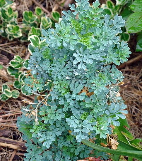 Blue Mound Rue Herb Plant Ruta Insect Mosquito Cat Repellant 4
