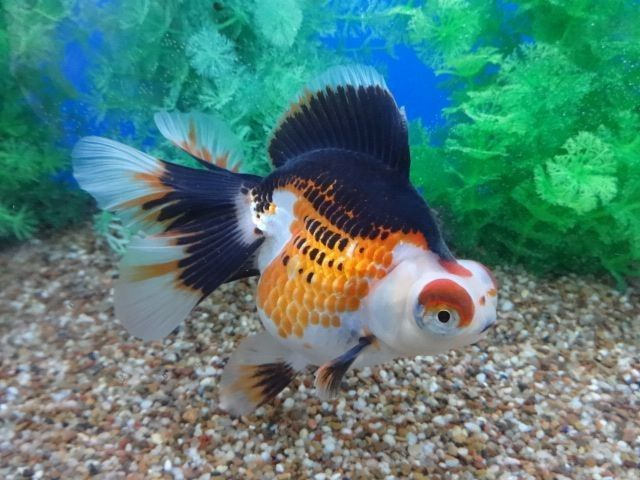 Fantabulous Tricolor Demekin Goldfish Aquarium Fish