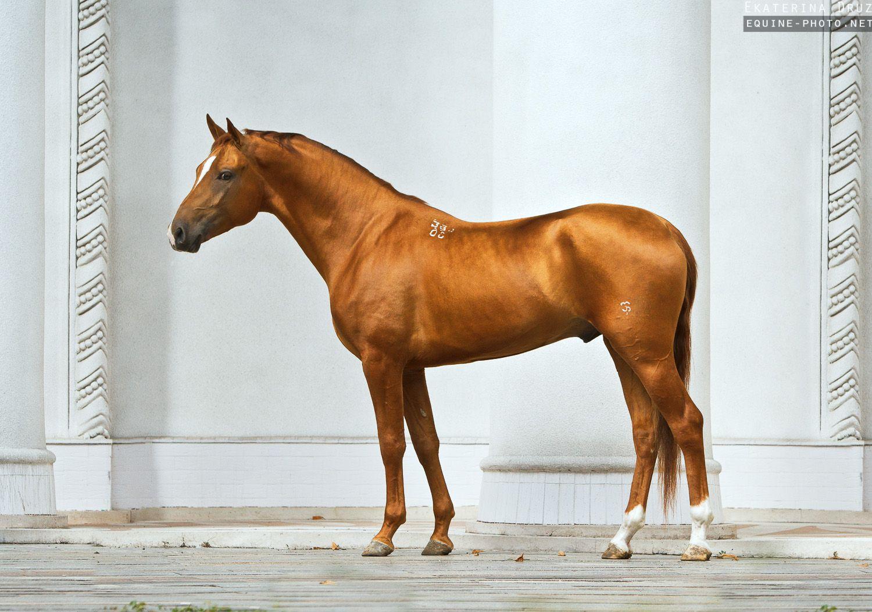 Photos of horses of Russian breeds by Ekaterina Druz ... - photo#28
