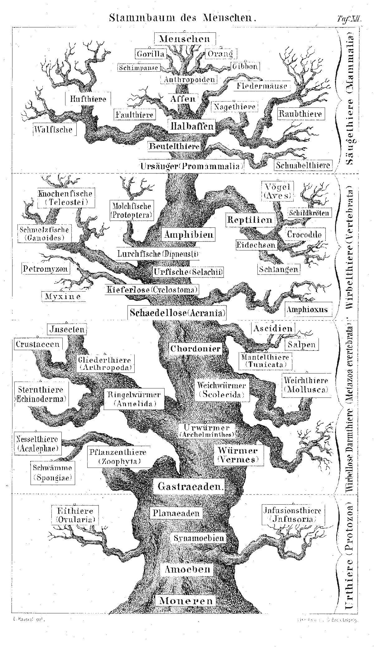 Stammbaum des Menschen Haeckel, E (1874)   Stammbäume   Pinterest ...