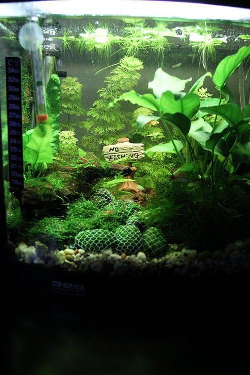 Shrimp Lounge Red Cherry Shrimp And Guppies Planted Aquarium Aquarium Fish Tank Red Cherry Shrimp