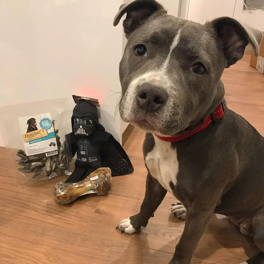 I M 6 Months Old Today So Mummy Treated Me To Some Presents I Can T Wait To Destroy Darth Vader Blueenglishstaffy Staffy Staffy Pups Blue Staffy Puppies