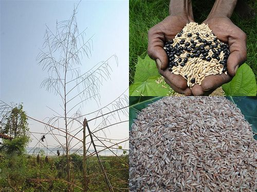Indigenous Medicinal Rice Formulations for Kidney, Heart and Spleen Diseases and Cancer and Diabetes Complications (TH Group-117 special) from Pankaj Oudhia's Medicinal Plant Database