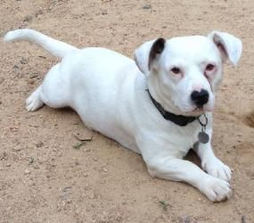 Daria Is An Adoptable Jack Russell Terrier Dog In Washington Dc