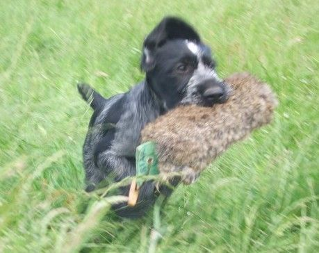 German shorthaired pointer breeders who have german ...