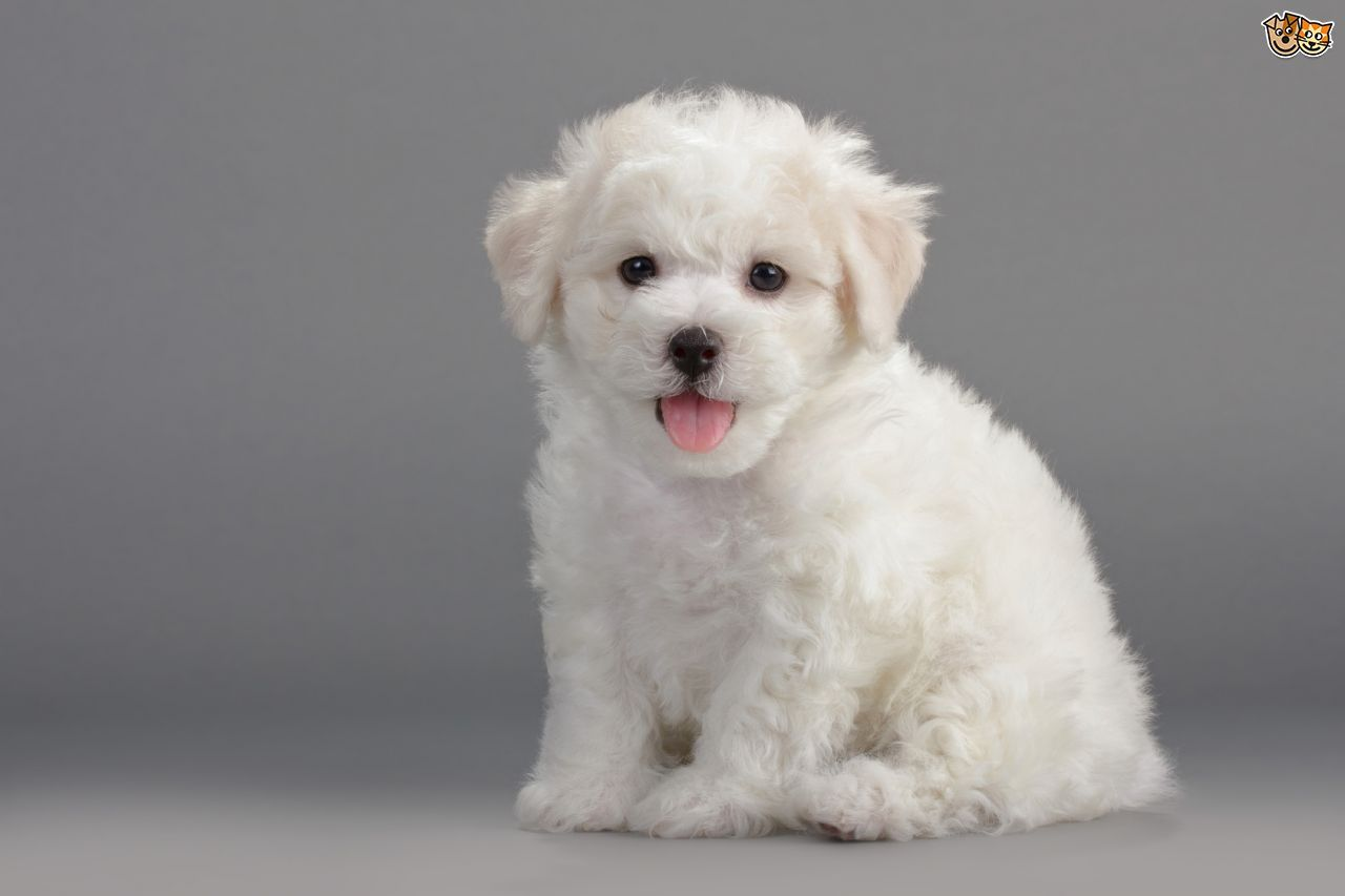 Small Dog Puppies Low Shedding Dog Breeds Dog Shedding Low Shedding Dogs