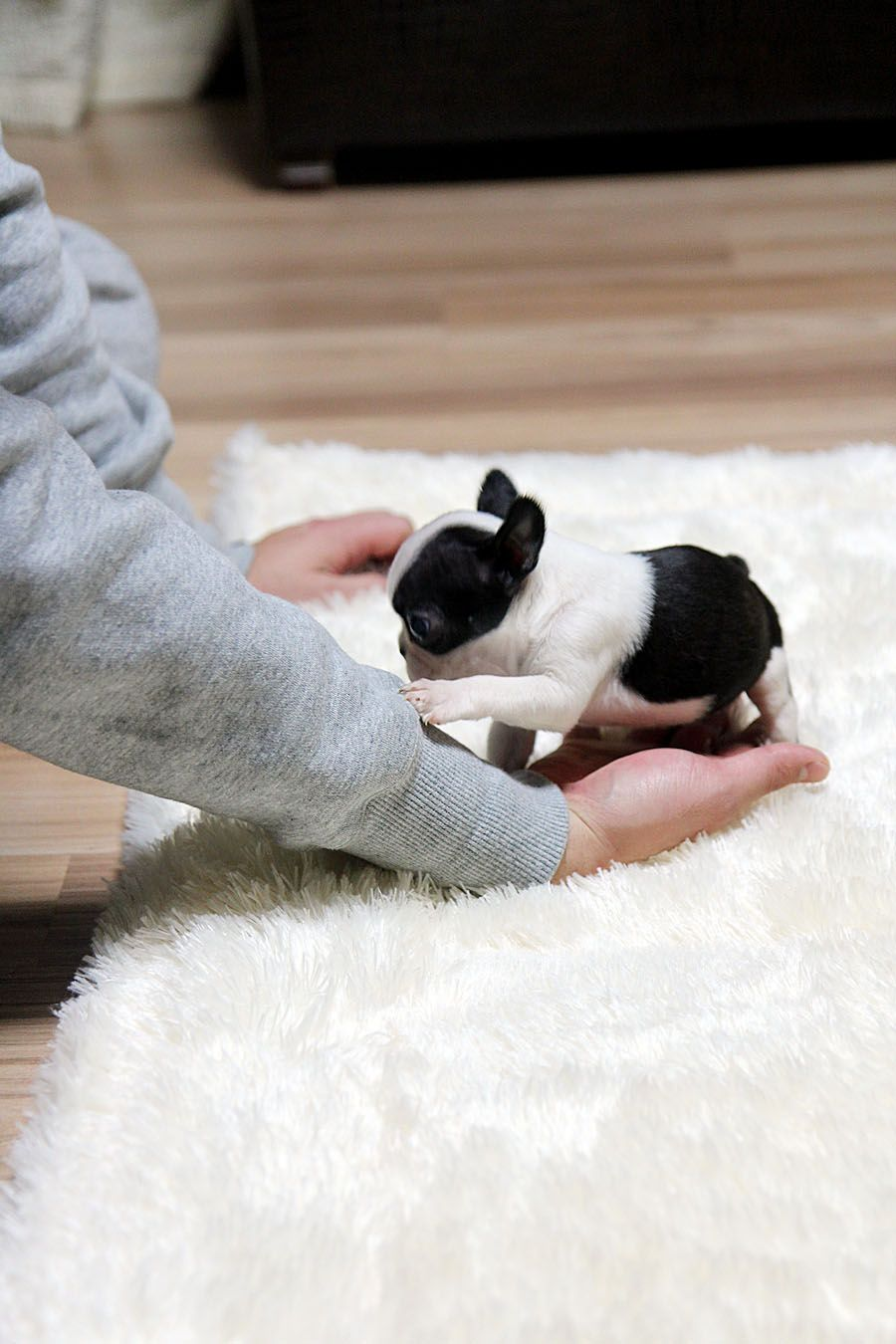 ★Teacup puppy★ mini french bulldog Bianco! The cutest, The