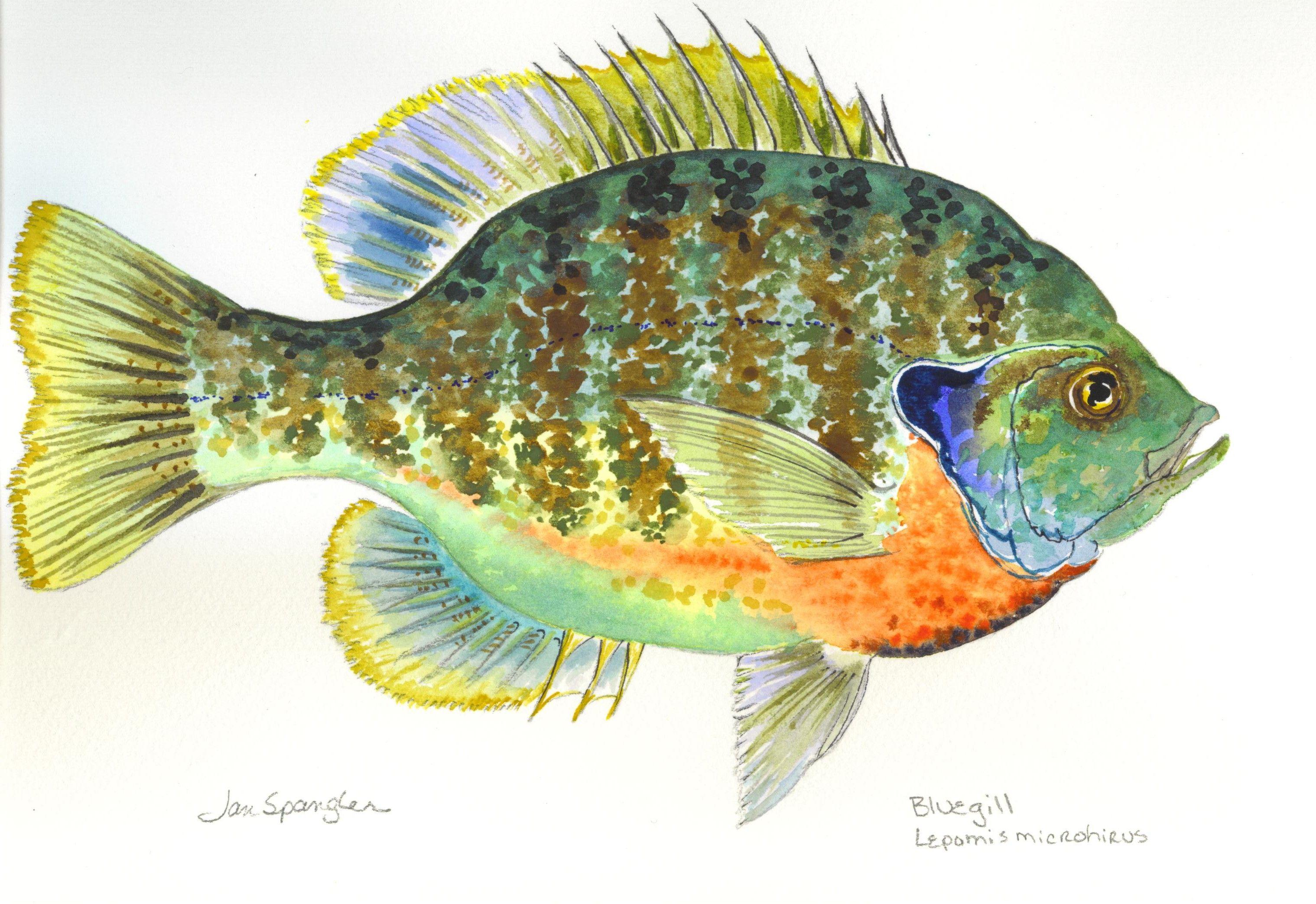 Bluegill Fish | Bluegill Paintings Google Search Fish Art Pinterest