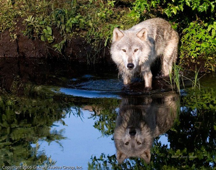 Wolf's reflection.