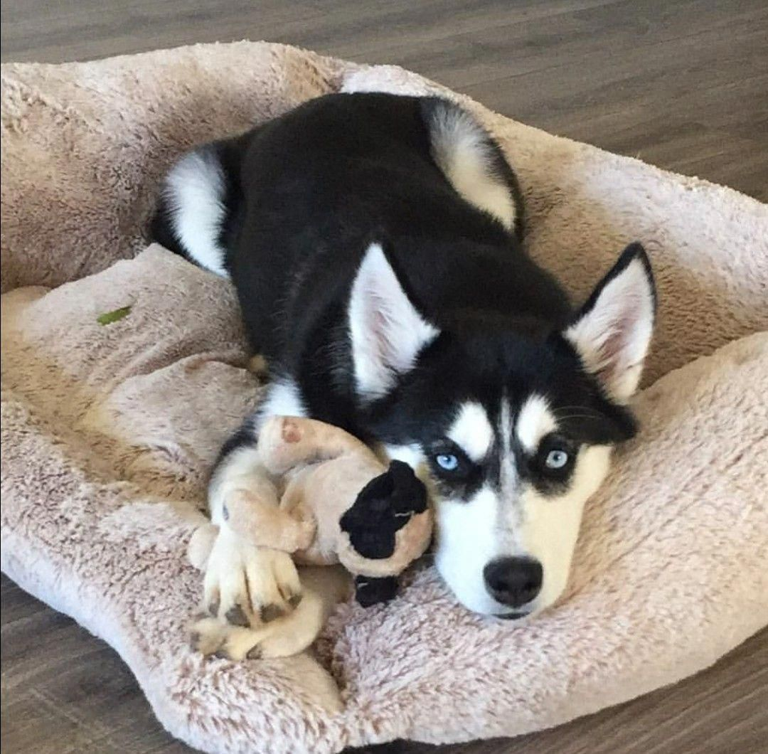 Everything About Intelligent Siberian Husky Puppy Exercise Needs