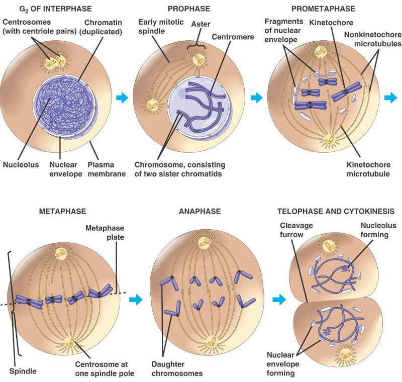 Stages of the Cell Cycle - Mitosis (Metaphase, Anaphase and ...