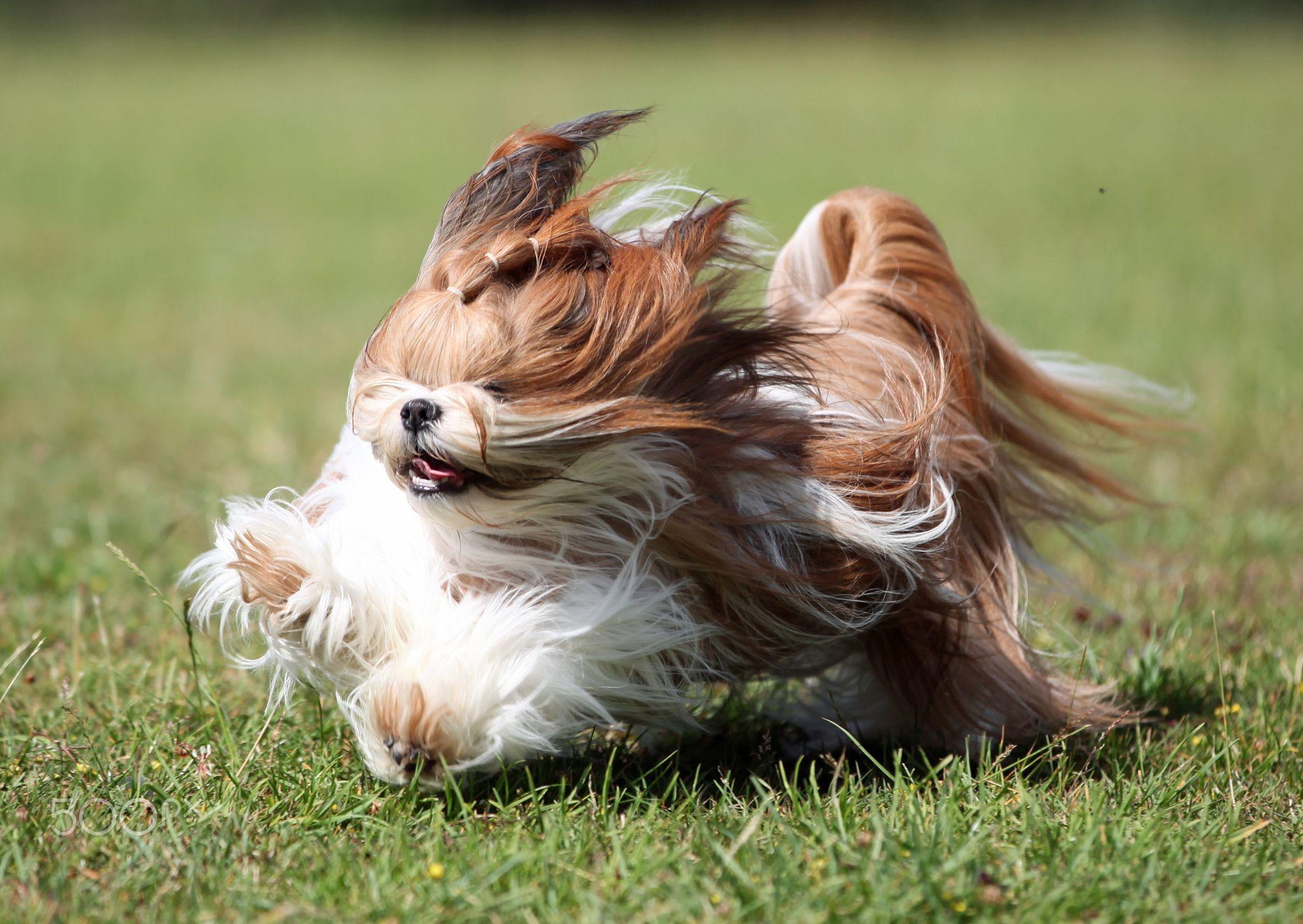 Shih Tzu Long Haired Shih Tzu Running On Grass Shih Tzu Dogs Animals