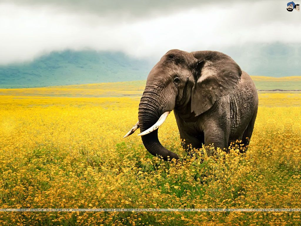 Hd wallpaper elephant - Elephant Hd Wallpaper Download Images 1566 Wallpaper Animaljetz Com