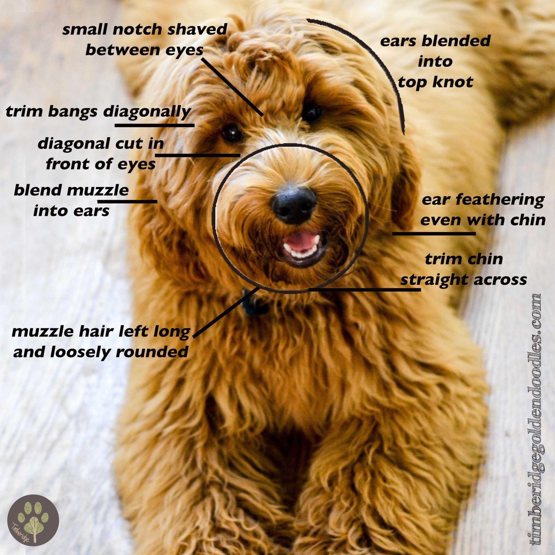 Face clips timberidge goldendoodles teddy bear