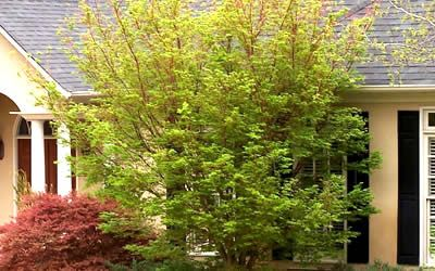 Sango Kaku C Bark Anese Maple In Spring