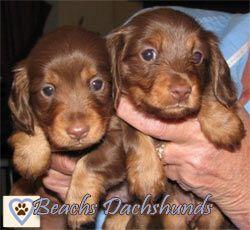 Beachs Dachshunds Arkansas Animals Dachshund Cute Puppy