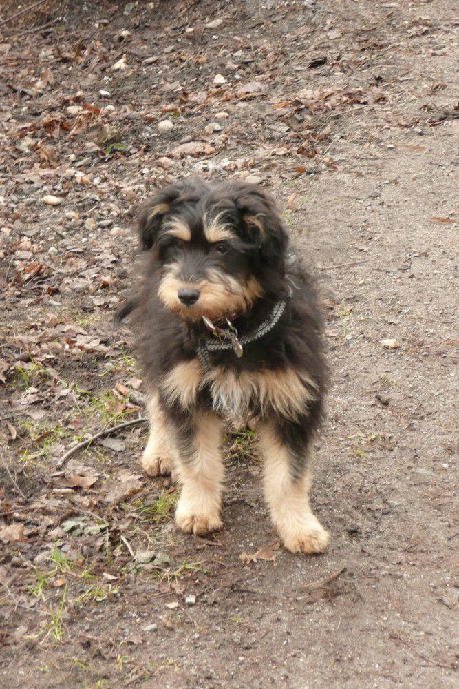 Geronimo Hunde Haustiere Tibet Terrier