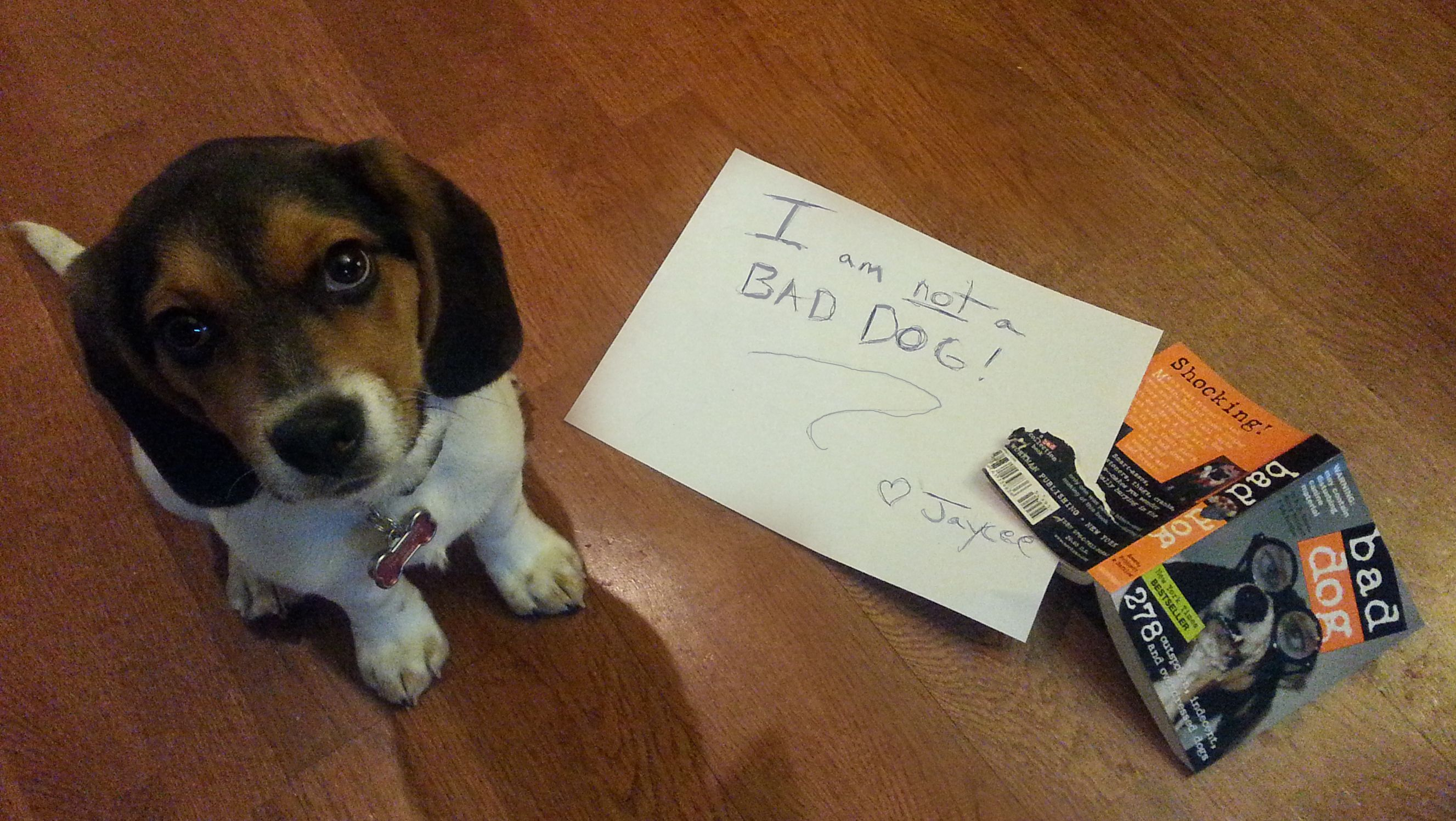 Jaycee Shaming Bad Dog Baby Beagle Rescue Puppies