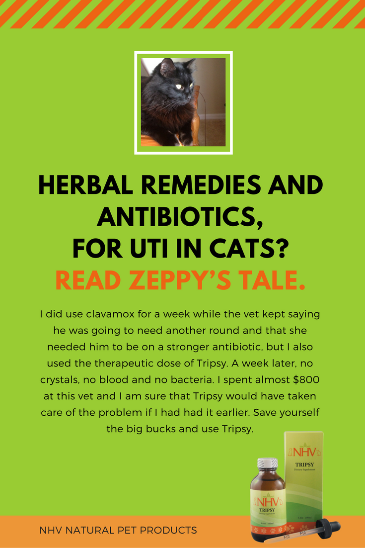 Herbal remedies and antibiotics, for UTI in cats? Read