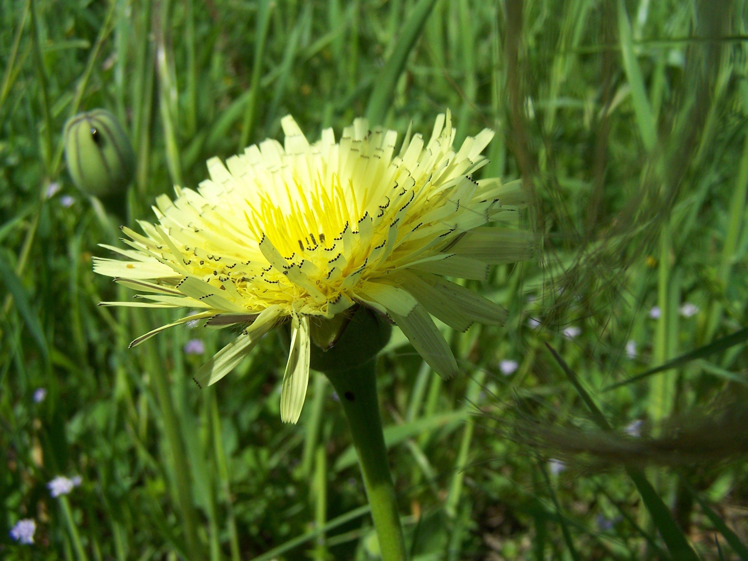 Fiore di Tarasacco -campagna sarda