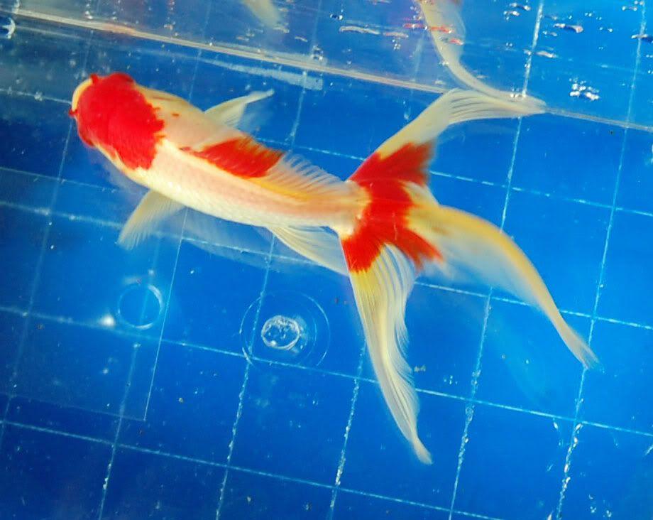 5 Gorgeous Watonai Goldfish For Sale Garden Pond Forums Goldfish Goldfish For Sale Fish Pet