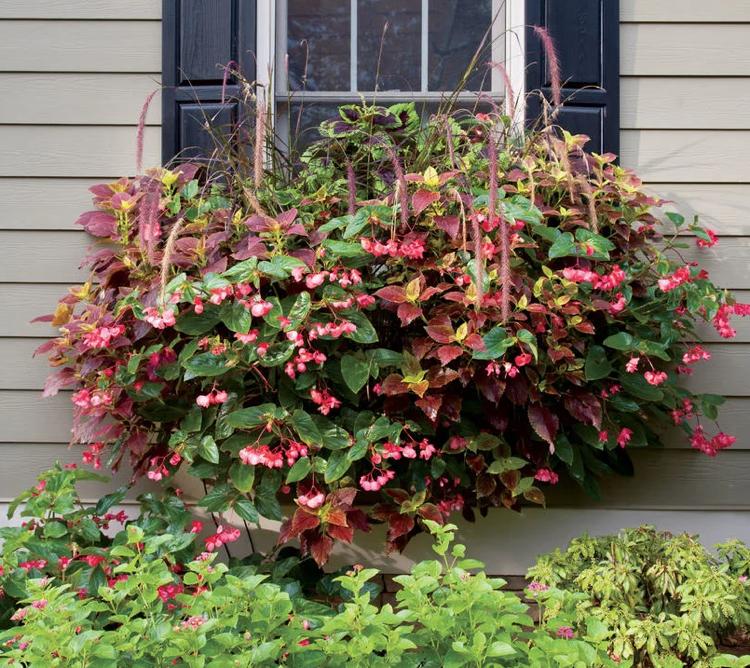 blumenkasten fenster nachpflanzen brunnengras begonien buntnessel gartenarbeit und pflege. Black Bedroom Furniture Sets. Home Design Ideas