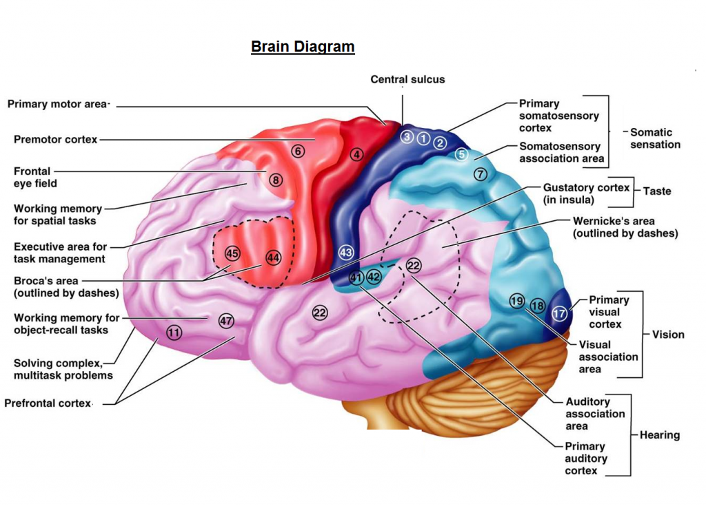 brain chart brain diagram human brain projects to do Printable Diagram of the Brain