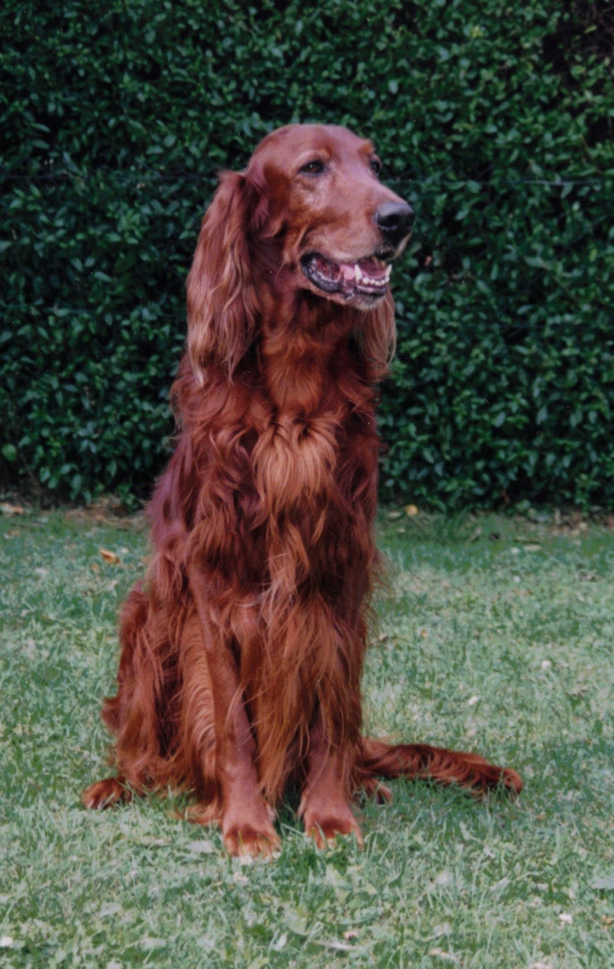 Red Irish Setter  what's a car, a watch, a bespoke suit,-  nothing without a best friend!