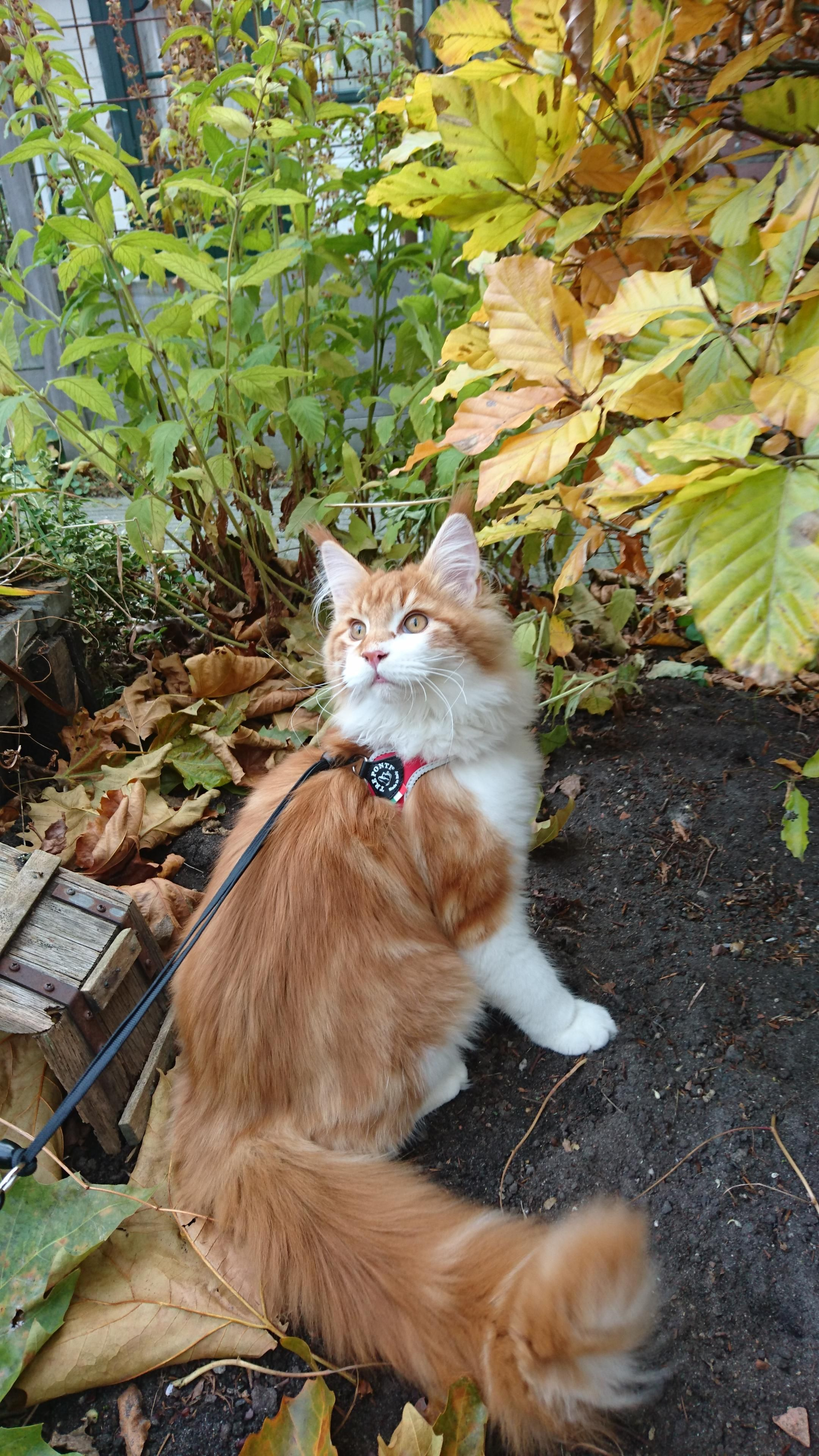 My Dear 4 5 Month Old Greebo Exploring The Garden Hes Doing So Well Getting Used To His Harness Hello There Bright Cats Cat Having Kittens Kittens Cutest