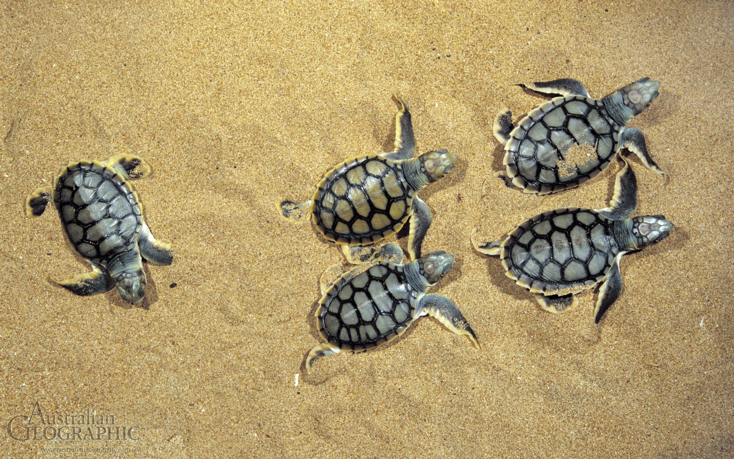 Turtle flatback turtle hatchlings bare sand island nt download turtle flatback turtle hatchlings bare sand island nt download the publicscrutiny Gallery