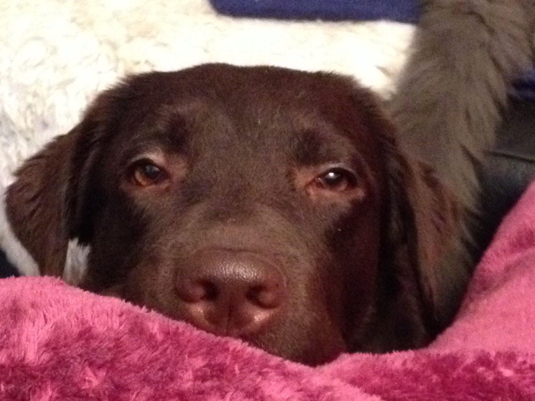 Leni Labrador Pawshake Hunde Hunde Fotos Tier Fotos