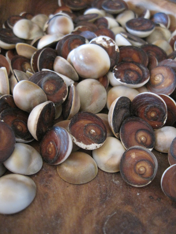 Red Cat Eye Seahells (25) Shells Seashell Supply