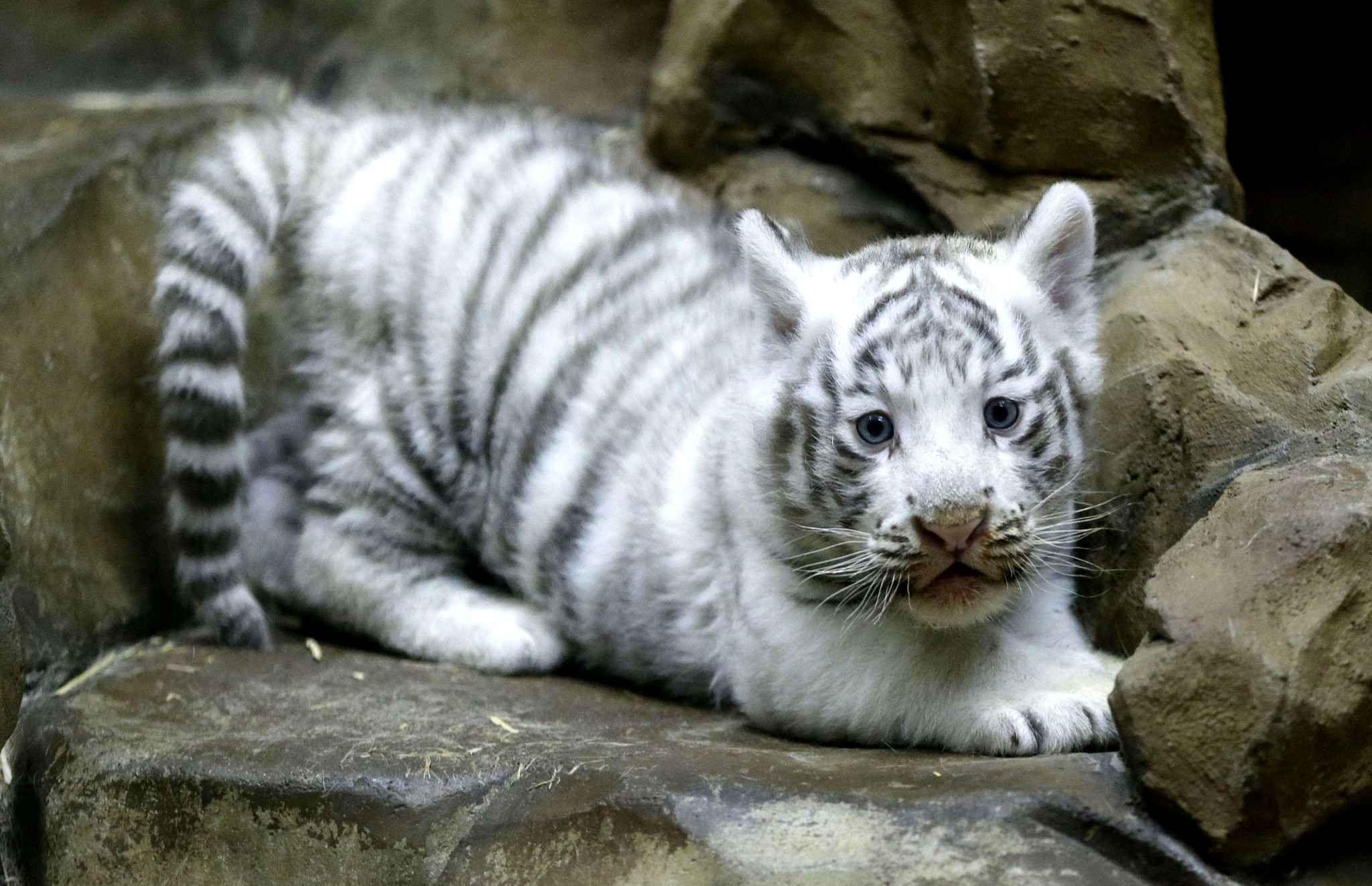 Un b b tigre blanc de deux mois sur la d fensive dans un zoo de liberec en r publique tch que - Photo de tigre blanc a imprimer ...
