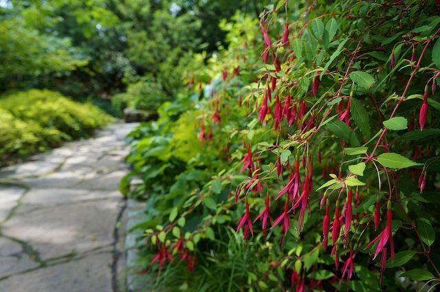 Fuchsia Magellanica Aurea Lee Garden Shade Garden Evergreen