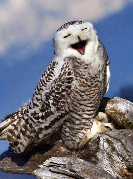 owl having a hoot