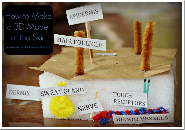 How To Make A 3d Model Of The Skin 3d Models And Homeschool