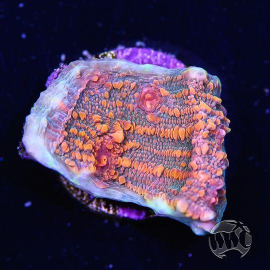 Wwc Golddigger Chalice Saltwater Aquarium Tax Time Invertebrates