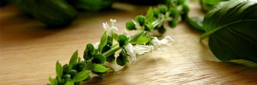 Bazsalikom a gyógyító fűszernövény - Természet Patikája Egyesület