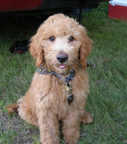 Doodlelane Home Raised Goldendoodle And Labradoodle Puppies