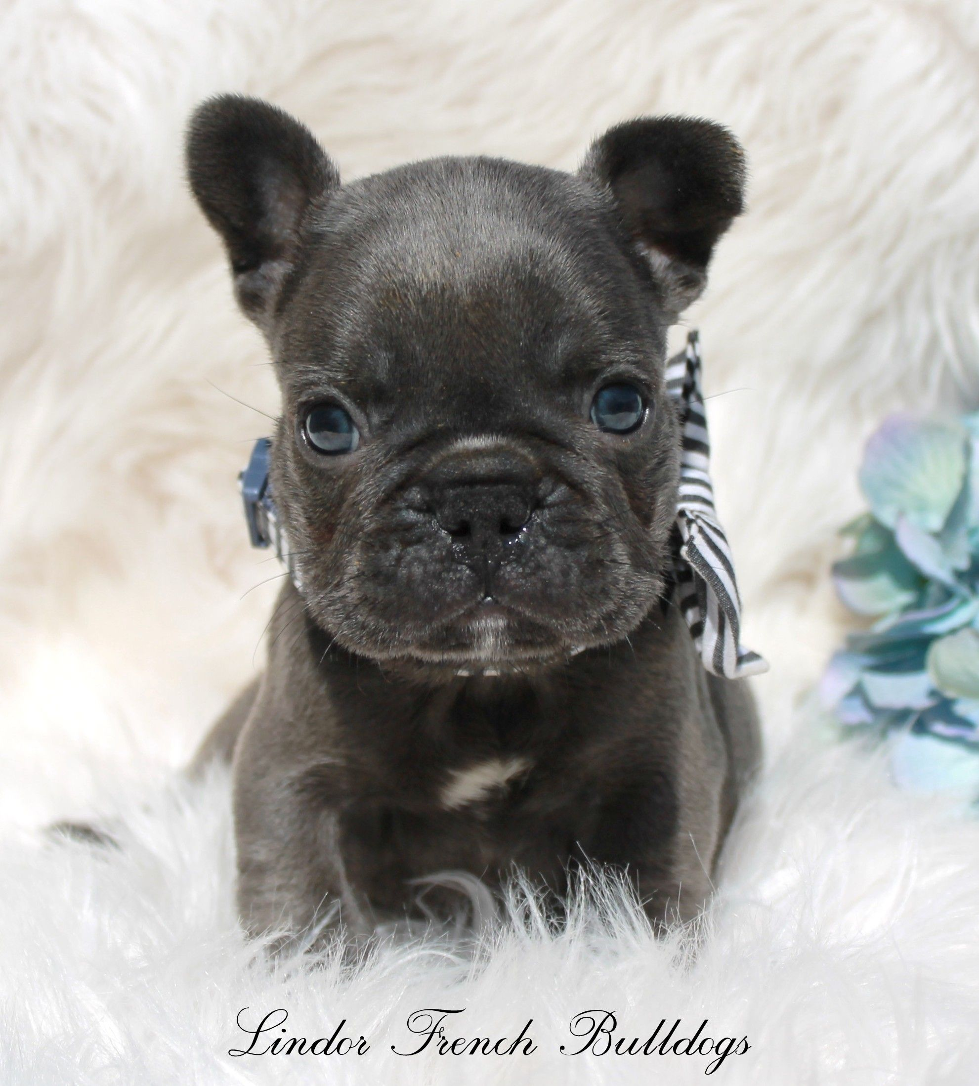 Home French Bulldog Puppies Blue French Bulldog Puppies