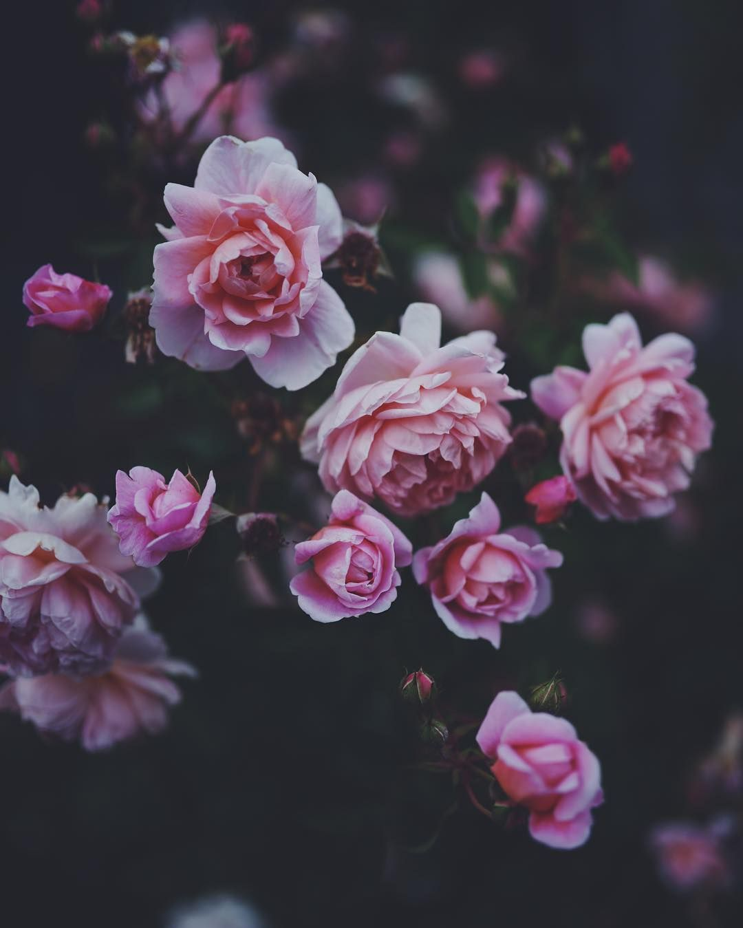 Pink Roses Tumblr With Images Rose Tumblr Flowers Planting