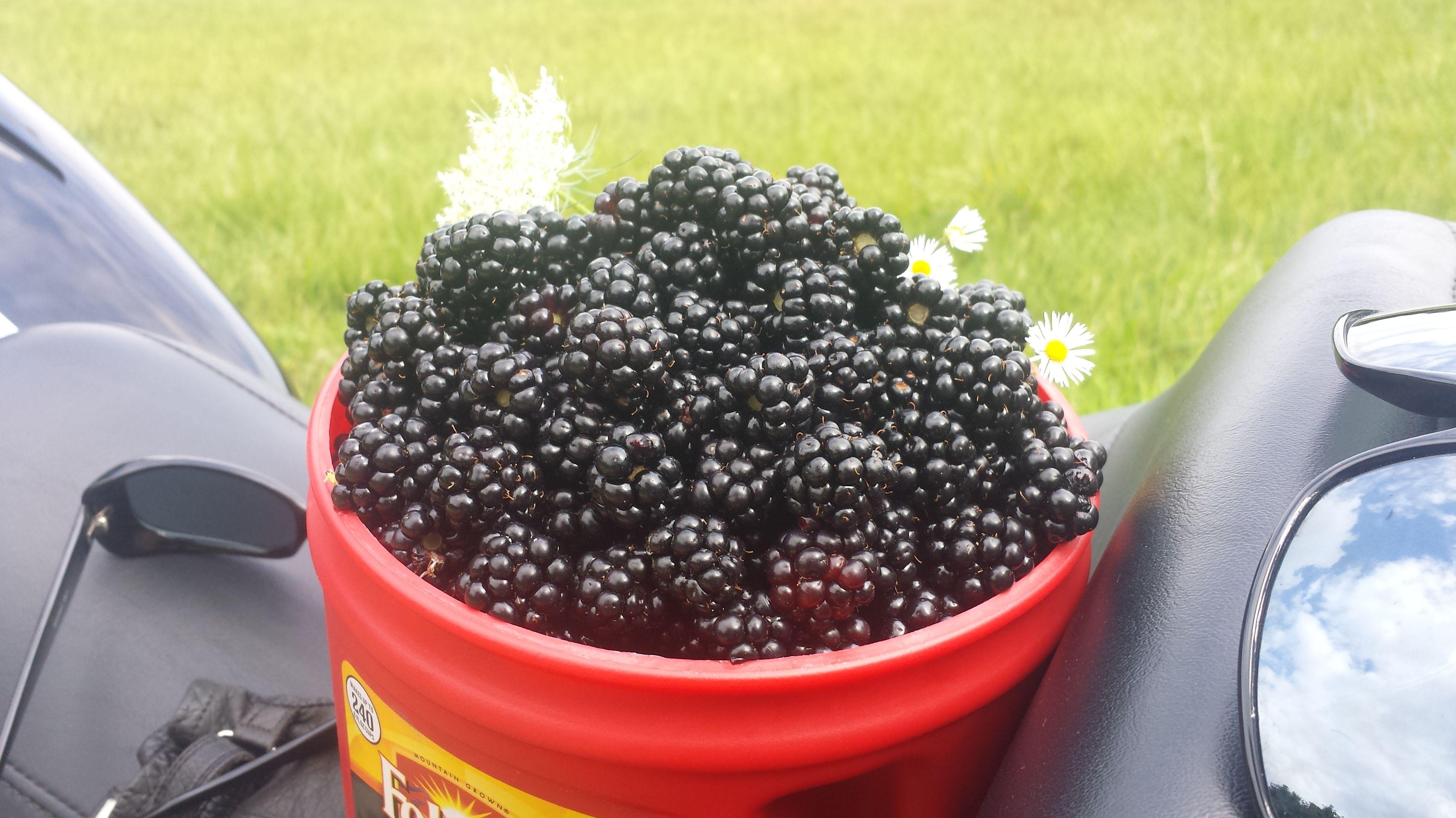 Picking wild Blackberry's for canning. Blackberry, Fruit