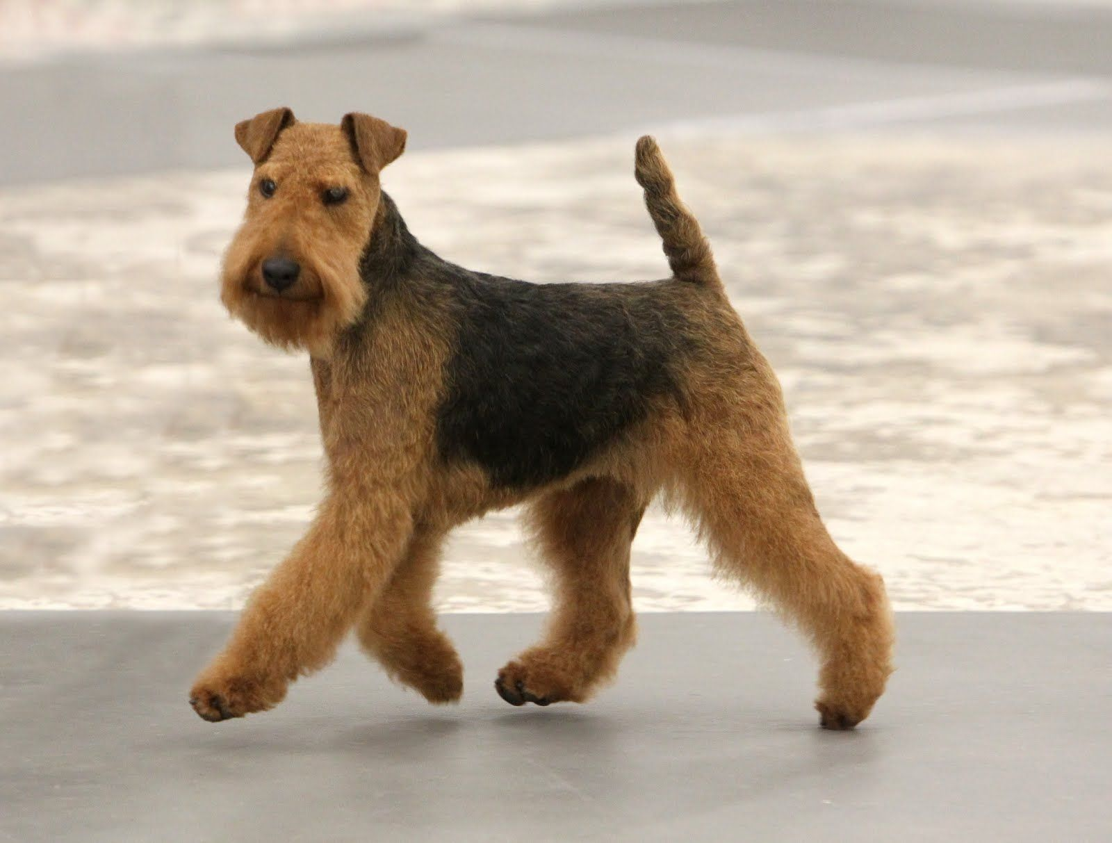 Welsh Terrier Near The Water Photo Welsh Terrier Airedale Dogs Dog Breeds