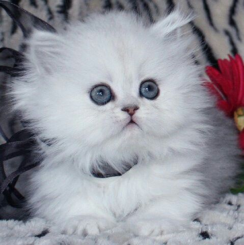 Precious white teacup Persian kitten. I want one SO badly